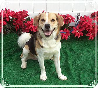 Beagle Mix Dog for adoption in Marietta, Georgia - BISCUIT