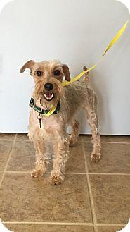 Schnauzer (Miniature)/Poodle (Miniature) Mix Dog for adoption in Va Beach, Virginia - Polo