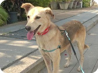 Labrador Retriever/Golden Retriever Mix Dog for adoption in WADSWORTH, Illinois - Preeti