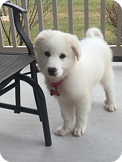 Great Pyrenees Mix Puppy for adoption in New Oxford, Pennsylvania - Ace