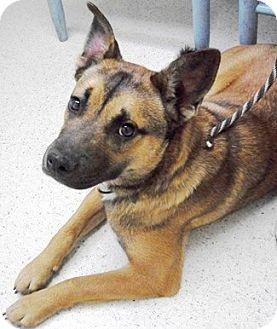 German Shepherd Dog Mix Dog for adoption in Castro Valley, California - Honey