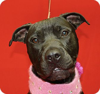 Pit Bull Terrier Mix Dog for adoption in Jackson, Michigan - Lola