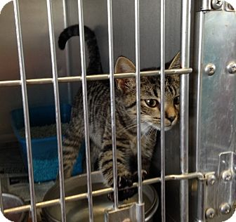 Domestic Shorthair Kitten for adoption in Thomaston, Georgia - Linus