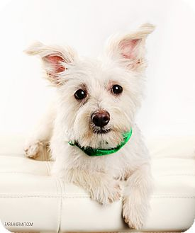 Maltese/Yorkie, Yorkshire Terrier Mix Dog for adoption in Omaha, Nebraska - Seamus-Pending Adoption