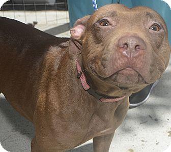 Terrier (Unknown Type, Medium) Mix Dog for adoption in St. Thomas, Virgin Islands - Shanti
