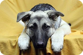 German Shepherd Dog Mix Dog for adoption in Westminster, Colorado - TAOS