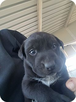 Pit Bull Terrier/Australian Cattle Dog Mix Puppy for adoption in Cave Creek, Arizona - Buck