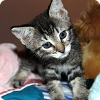 Adopt A Pet :: Ariel - St. Louis, MO