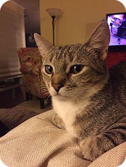 Domestic Shorthair Kitten for adoption in Marietta, Georgia - Edgar
