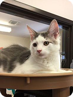 Domestic Shorthair Cat for adoption in Seal Beach, California - Kitten Miso