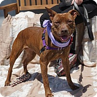 Pit Bull Terrier Mix Dog for adoption in Mt Vernon, New York - Cookie