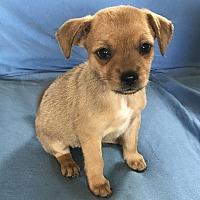 Adopt A Pet :: Tiny T - Tumwater, WA