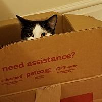 Adopt A Pet :: Ferris Bueller - St. Louis, MO