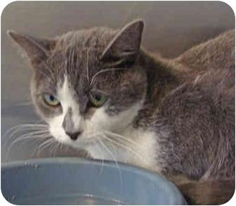Domestic Shorthair Cat for adoption in Overland Park, Kansas - Wanda