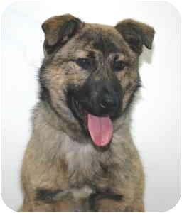 Shepherd (Unknown Type) Mix Puppy for adoption in Port Washington, New York - Trapper