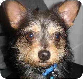 Yorkie, Yorkshire Terrier/Chihuahua Mix Dog for adoption in petaluma, California - Scamper