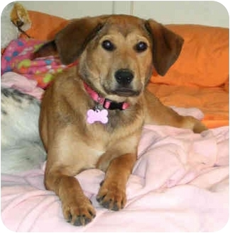 Labrador Retriever/Golden Retriever Mix Puppy for adoption in Marietta, Georgia - Cassidy