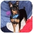 Photo 4 - Miniature Pinscher Dog for adoption in Pelzer, South Carolina - Musketeer Moe