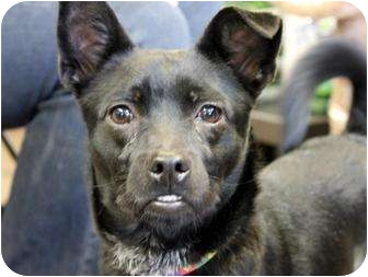 Border Collie/Chihuahua Mix Dog for adoption in all of, Connecticut - Perty