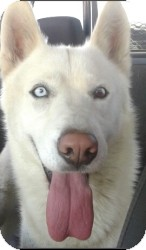 Siberian Husky Dog for adoption in Apple valley, California - Linus