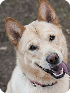 American Eskimo Dog/Chow Chow Mix Dog for adoption in Bowie, Maryland - Adopted! Vaughn
