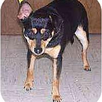 Adopt A Pet :: Presley - Florissant, MO