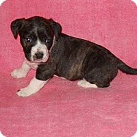 Adopt A Pet :: Hope - Wilmette, IL