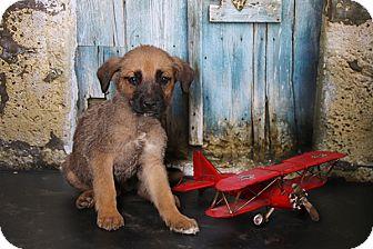 German Shepherd Dog Mix Puppy for adoption in Glastonbury, Connecticut - Ace