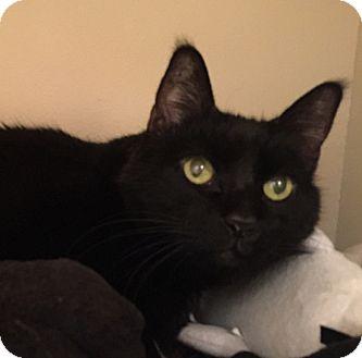 Domestic Shorthair Cat for adoption in Laguna Woods, California - Spenser
