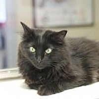 Domestic Longhair Cat for adoption in El Cajon, California - Stanley