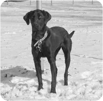 Labrador Retriever Mix Dog for adoption in Austin, Minnesota - Charlee