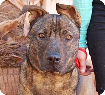 Shepherd (Unknown Type) Mix Dog for adoption in Las Vegas, Nevada - Copper