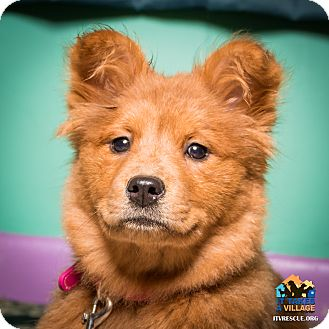 Chow Chow Mix Puppy for adoption in Evansville, Indiana - Mocha
