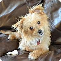 Adopt A Pet :: *Slushi - PENDING - Westport, CT