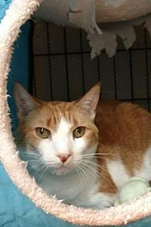 Domestic Mediumhair Cat for adoption in Miami, Florida - Ginger the Cat *