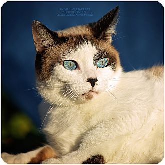 Snowshoe Cat for adoption in Cincinnati, Ohio - Molly