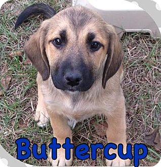 Shepherd (Unknown Type)/Labrador Retriever Mix Puppy for adoption in Hammonton, New Jersey - buttercup