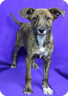 Shepherd (Unknown Type) Mix Puppy for adoption in Westminster, Colorado - TARA