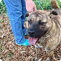 Adopt A Pet :: Dolly - Bartlett, TN