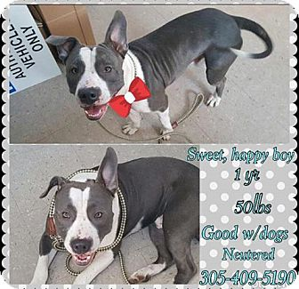Pit Bull Terrier Mix Puppy for adoption in hollywood, Florida - CYBER