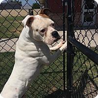 Boxer Dog for adoption in Austin, Texas - Yeti