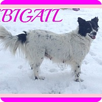 Border Collie Mix Dog for adoption in Middletown, Connecticut - ABIGAIL