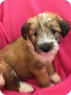 Wheaten Terrier Mix Puppy for adoption in Orland Park, Illinois - Belle