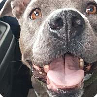 Adopt A Pet :: Bella Morelli - Hillsboro, NH