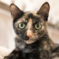 Adopt A Pet :: Carrie Fisher - Lihue, HI
