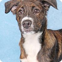 Adopt A Pet :: Raggedy Andy - Encinitas, CA