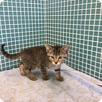 Adopt A Pet :: Tiger - Sylvan Lake, MI
