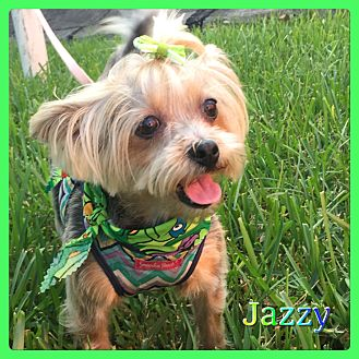 Yorkie, Yorkshire Terrier Mix Dog for adoption in Hollywood, Florida - Jazzy