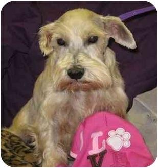 Miniature Schnauzer Dog for adoption in Fort Wayne, Indiana - Gazula