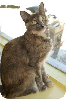 Domestic Shorthair Cat for adoption in Englewood, Florida - Puffy